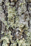Lichen on bark Royalty Free Stock Photography