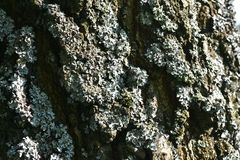 Lichen on the bark of the old birch in the sun Royalty Free Stock Image