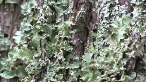 Lichen on bark. This region of Australia, sustains an indigenous ecology named `dry rainforest`, that is World Heritage listed as the only example of a large stock footage