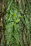 Lichen Bark Texture. Ancient Green Bark Texture with lichen detail macro close up Stock Photo