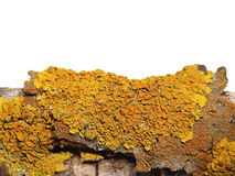 Lichen on bark of walnut isolated on white Royalty Free Stock Images