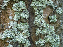 The lichen on the bark. White lichen covers the tree trunk Royalty Free Stock Photos