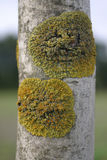 Lichen on a birch. Two patches of lichen on a birch Stock Photos