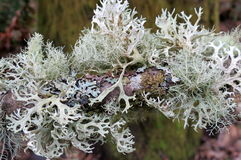 Lichen on a Branch Royalty Free Stock Photo