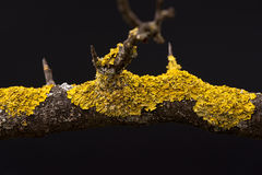 Lichen branch. Isolated on black background Stock Photo
