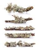 Lichen on a branch. Set of lichen on a branch, white background stock photo