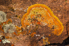 Lichen. Bright Orange And Yellow Crustose Lichen Growing On Rock In Great Basin National Park, Nevada Stock Images