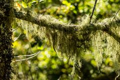 Lichen on a branch. Lichen captured on a branch in the forest in a Natural Park Royalty Free Stock Photo