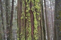 Lichen on cedar Royalty Free Stock Image