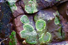 Lichen - Clean Environment indicator. A lichen is a composite organism that arises from algae or cyanobacteria (or both) living among filaments of a fungus in a Stock Image