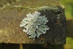 Lichen. Close photo of a foliose lichen Parmotrema growing on the bench stock photos