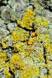 Lichen Close Up Photo libre de droits