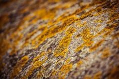 Lichen Royalty Free Stock Photo