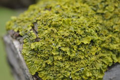 Lichen close up (Xanthoria spp.) Stock Images