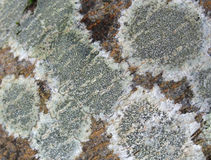 Lichen closeup Royalty Free Stock Images