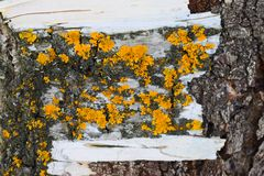 A lichen is a composite organism that arises from algae or cyanobacteria living among filaments of multiple fungi in a symbiotic. Relationship. The combined Stock Photo