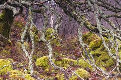 Lichen covered Birch. A close up image of a thickly wooded bank on the Ardnamurchan peninsula in Lochaber, Scotland. 24 December 2017 Stock Images