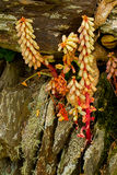 Lichen covered dry-stone wall in devon. With navelwort stock image