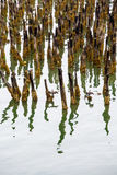 Lichen Covered Pilings in Harbor stock photography