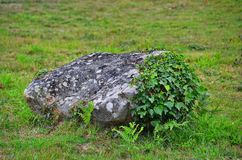 Lichen covered rock on grassland, partly overgrown with ivy royalty free stock photography