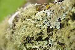 Lichen covered tree. Lichen and algae growing on tree stock images