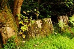 Lichen Covered Tree och staket Royaltyfri Foto