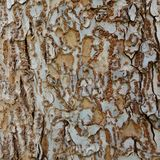 Lichen Covered Tree Trunk. Stock Image