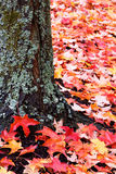 Lichen covered tree trunk and red leaves. Weathered tree red leaves royalty free stock photography