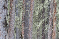 Lichen covered tree trunks Stock Photo