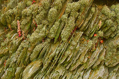 Lichen covering dry-stone wall. Lichen covered drystone wall in devon uk royalty free stock images