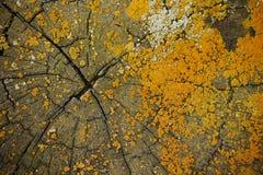 Lichen Crustose sur la coupe en bois Photographie stock libre de droits