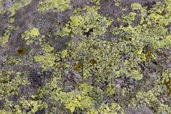 Lichen crustose vert sur une roche image libre de droits