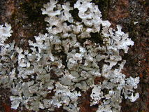 Lichen cyan sur l'écorce d'arbre de cendre Photo libre de droits