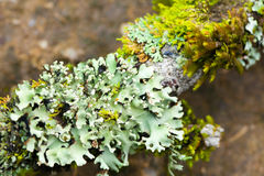 Lichen dampness. Green fresh and moist of various lichen growing in rain forest humidity of Thailand nature Royalty Free Stock Images