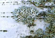 Lichen de mousse Photo libre de droits