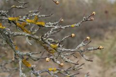 Lichen. Detail of the grey and yellow lichen on tree branches with buds on the tops of branches Royalty Free Stock Photos