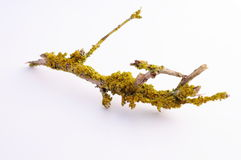 Lichen on dry branch Royalty Free Stock Photo