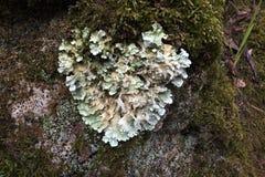 Lichen en forme de coeur photo stock