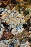 Lichen on Encephalartos Longifolius. Abstract background of Lichen on the trunk of Encephalartos Longifolius (Suurbergbroodboom Royalty Free Stock Images