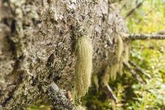 Lichen on fallen spruce. Stock Photos