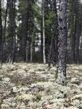Lichen in the forest. Lichen covers he ground in an evergreen forest Stock Photography