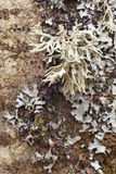 Lichen formation on a textured tree bark Stock Images