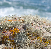 Lichen gardens on seaside rocks. Royalty Free Stock Photos