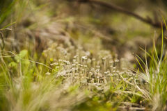 Lichen in a grass Royalty Free Stock Photography