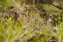 Lichen in a grass Royalty Free Stock Images