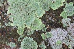 Lichen. Green lichen background and textures Stock Images