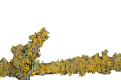 Lichen Growing on a Branch Royalty Free Stock Photo