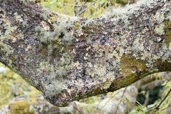 Lichen. Lichen growing on the branch of a tree Royalty Free Stock Images