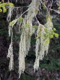 Lichen Growing on Pine Tree Stock Photo