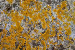 Lichen growing Royalty Free Stock Photo